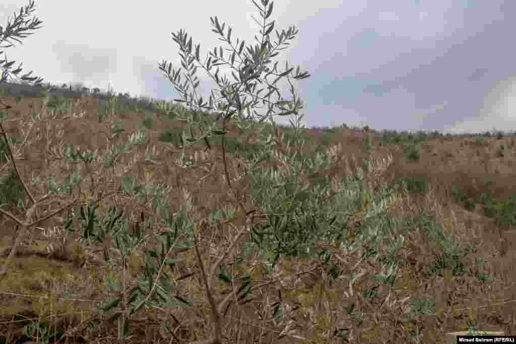 Može se naći i primjerak drveta masline.