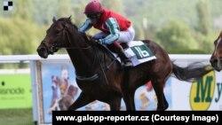 Лучшая лошадь чешской конюшни чеченского лидера Рамзана Кадырова – Альдар