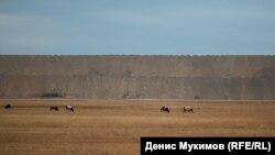 Животные пасутся рядом с разрезом - больше негде