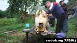 Belarus - Firing a pig in the village Budcha of Hantsavichy region. 9Jul2016