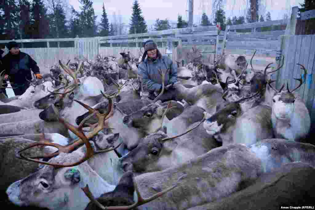 Inside the corral, it's heavy work. Some reindeer are vaccinated against parasites and released.