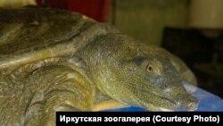 """Черепаха, проданная жителю Иркутска как """"суповой набор"""""""