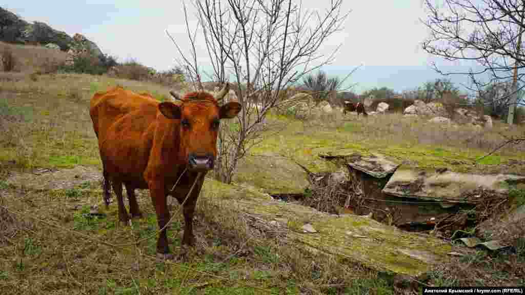 Корови в районі занедбаних заводських пансіонатів і дач, мис Кітень