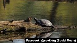 За словами активістів, такі черепахи живуть у середмісті Києва – на Совських ставках