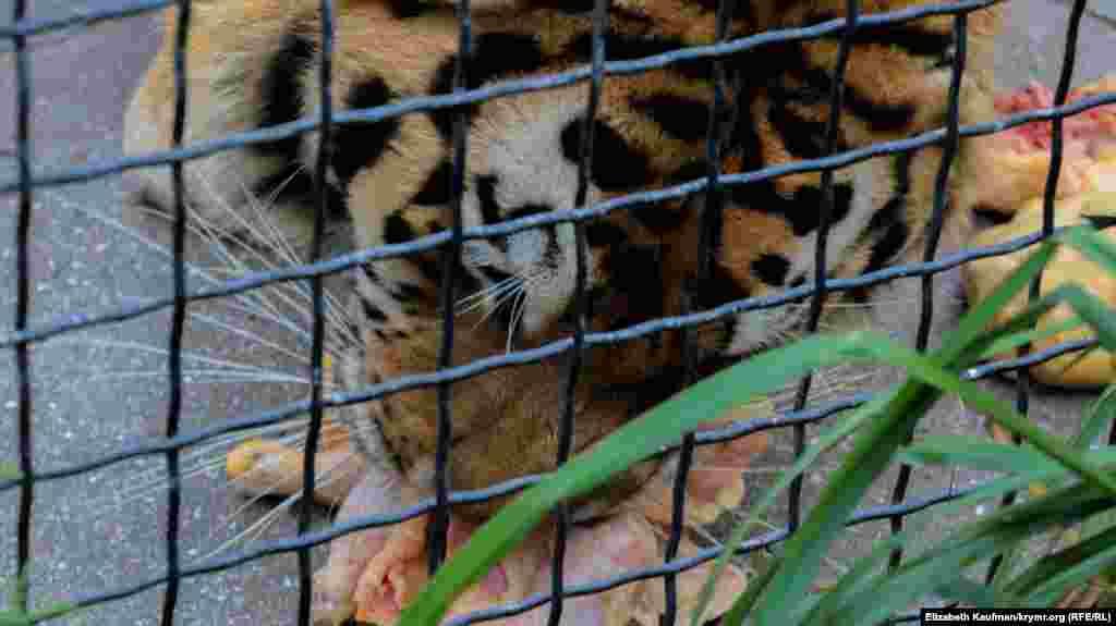Тигр обедает