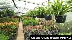 زهور و نباتات زينة في مشتل ببغداد