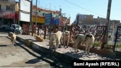 كلاب سائبة في احد شوارع بعقوبة