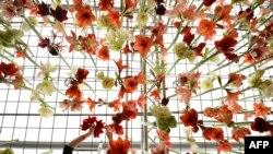 Садовод развешивает азалии на Королевской выставке в Челси
