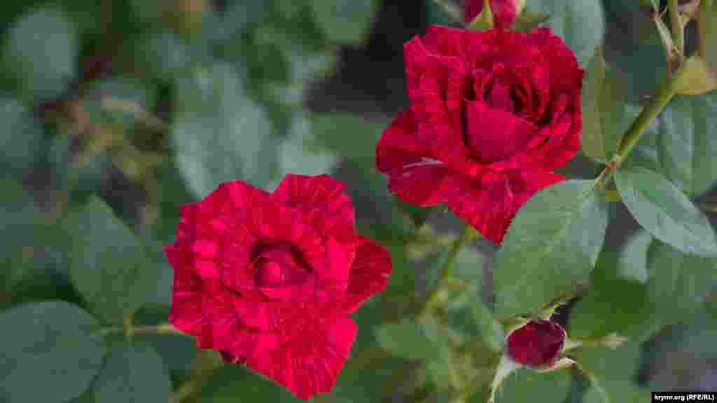 Паркові троянди у всій своїй природній красі