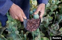 Опиум-сырец, собранный на поле из маковых головок. Провинция Джелалабад