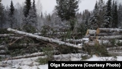 Вырубка сибирских лесов