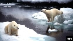 Polar bears are a protected species in Russia. (file photo)