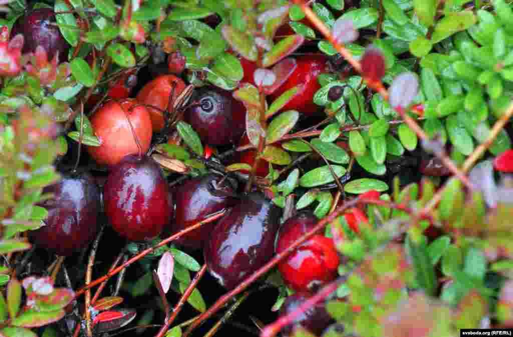 Крупнейшим мировым производителем этой ягоды являютсяСША, плантации есть также вКанаде, Польше и Скандинавскихстранах, и немного— в Беларуси и России.
