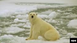 Белый медведь в арктическом регионе Баренцева моря