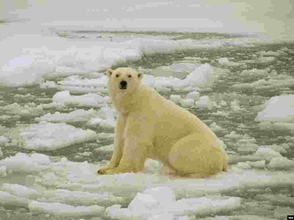 A polar bear suns himself in the Barents Sea region (epa) - Disappearing glaciers will reduce the supply of fresh water to more than 1 billion people around the world, the report says. Melting ice caps will raise sea levels enough to displace 200 million people.