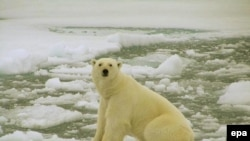 Global warming is threatening the polar bear's icy habitat.