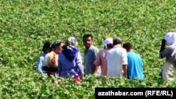 Сбор хлопка в Туркменистане (архивное фото)