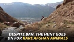 Despite Ban, The Hunt Goes On For Rare Afghan Animals