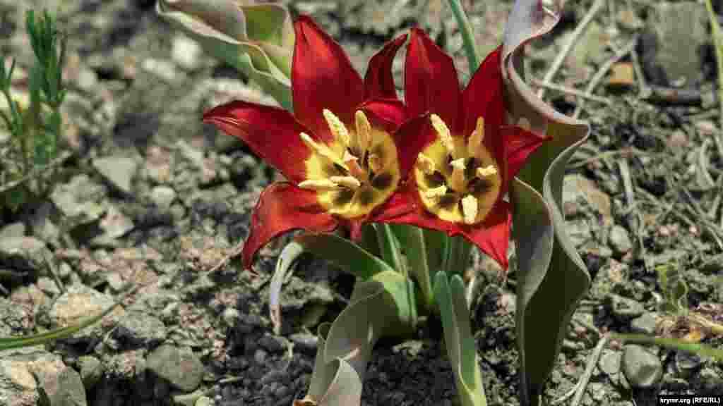 Вважається, що саме від тюльпанів Шренка беруть початок безліч сортів культивованих тюльпанів. Свого часу турки привезли тюльпани до себе на батьківщину, а вже пізніше квіти потрапили в Голландію