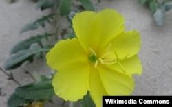Энотера (лат. oenothera) гүлү.