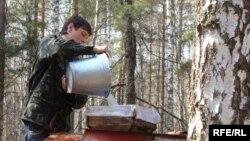 Збирання березового соку в Україні, Чернігівська область (архівне фото)