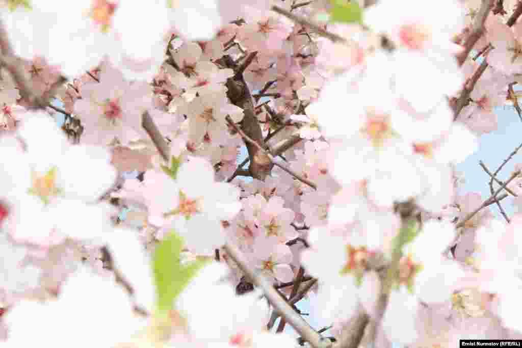 Нежные соцветия абрикоса
