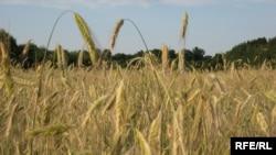 Украина задумалась о квотировании экспорта зерновых.