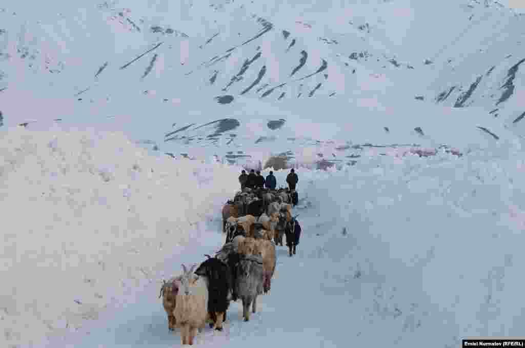 Из-за морозов в горных районах катастрофически не хватает кормов для домашнего скота.