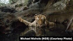 Tigar u parku prirode Bandhavgarh, arhiv