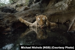 """Pasi ra në """"kurthin e kamerës"""", një tigreshë arriti që t'i bëjë vetes këtë fotografi, në Indi, 1995."""