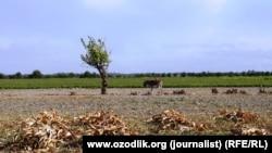Harvesting cotton in Uzbekistan's Samarkand region.