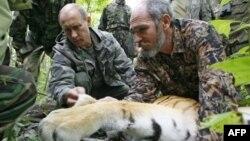 """""""Дикую"""" тигрицу для Путина привезли из зоопарка?"""