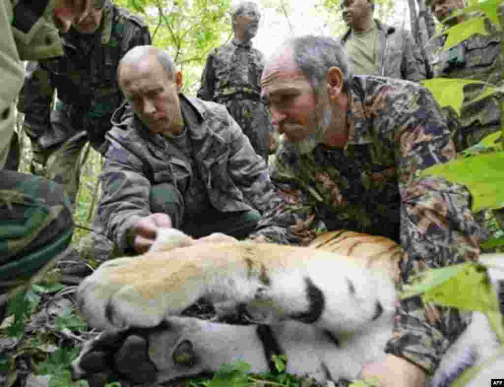 Putin helps scientists tag a Siberian tiger in August 2008.
