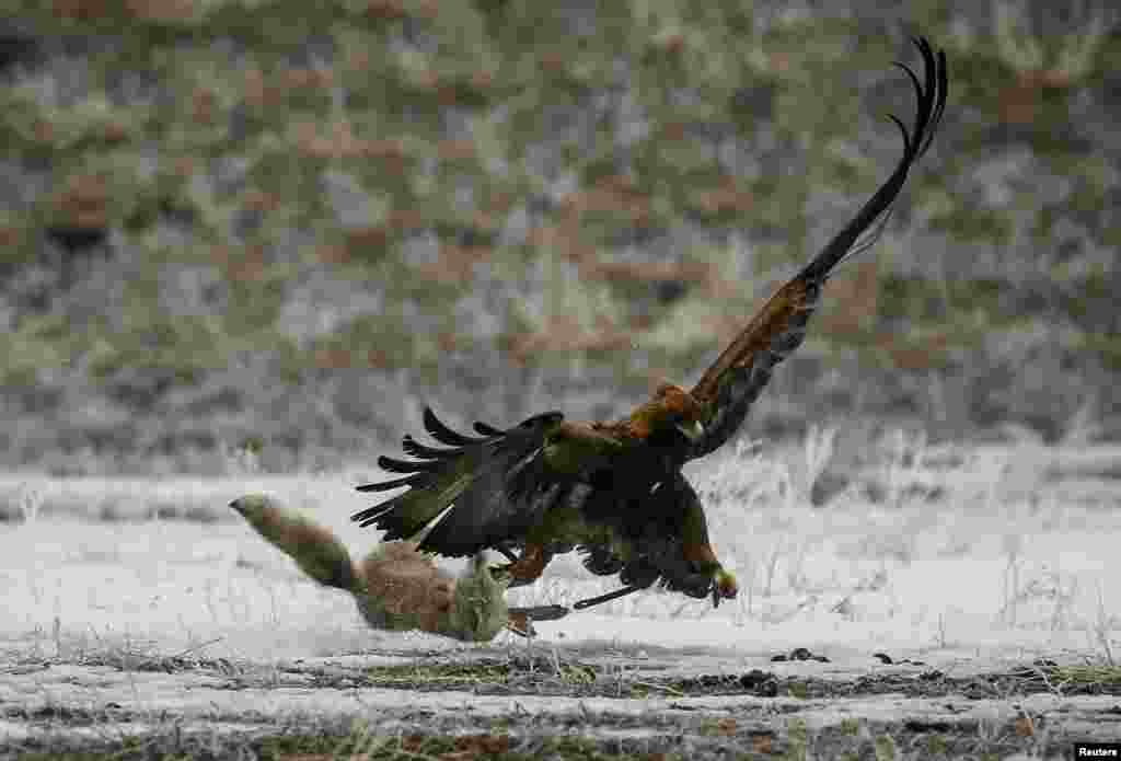 A tamed golden eagle attacks a corsac fox during an annual hunting contest in Chengelsy Gorge east of Almaty, Kazakhstan. (Reuters/Shamil Zhumatov)