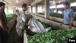 یک کارخانه چای در گیلان.