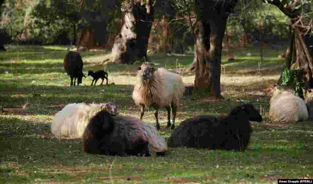 The farmers of Moria have taken to erecting fences for their flocks, whereas in the past many sheep and goats were free to wander. Several locals reportedly had their animals stolen and eaten by migrants.
