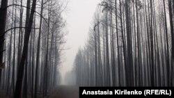 Лес после верхового пожара. Выксунский район, Нижегородская область