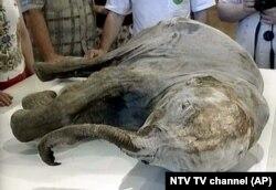 Egy 10 ezer éves mamut-kölyök megfagyott tetemét is a szibériai Tajgában fedezték fel. Szinte sértetlenül megmaradt az állat szeme és ormánya.