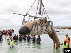 Добровольцы спасают попавшего на берег дельфина-гринду. Западная Австралия