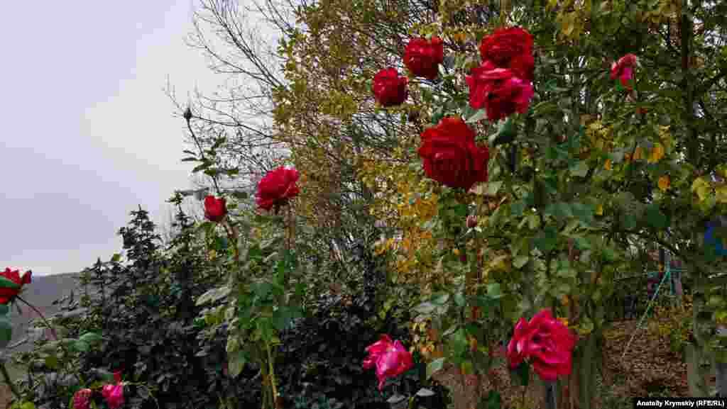 Знову зацвіли троянди у дворі однієї з тутешніх конеферм