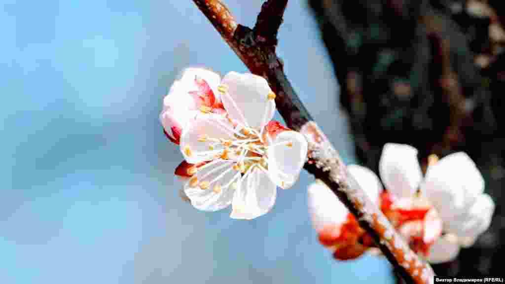 Квітка абрикосового дерева