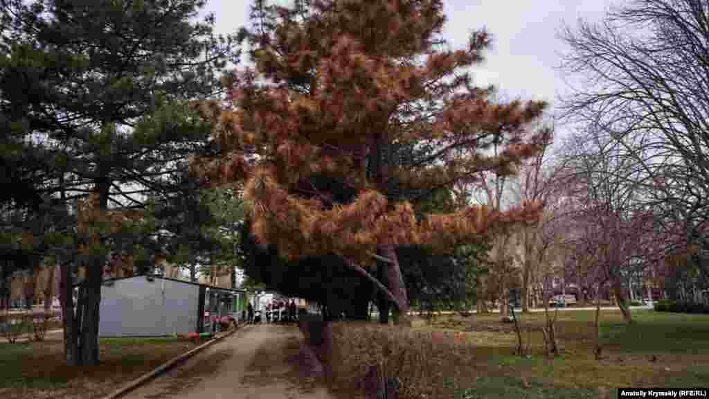 Увядшие сосны в парках и скверах города