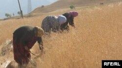 A wheat plantation in Roghun, in eastern Tajikistan (file photo)