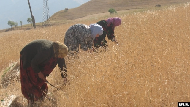 A wheat plantation in Roghun, in eastern Tajikistan (file photo)