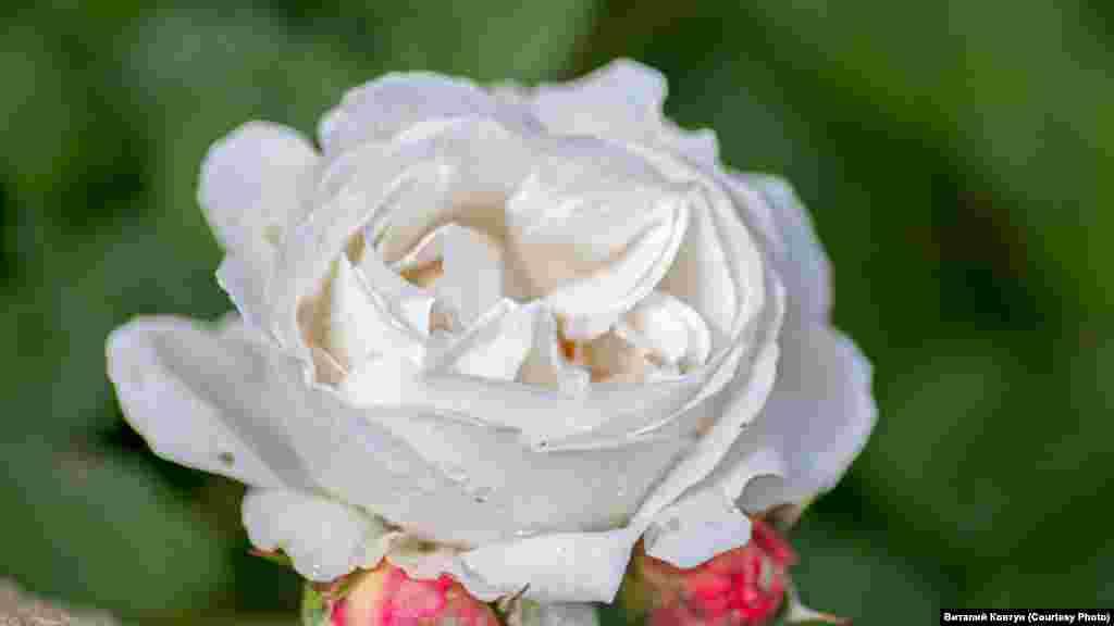 За селекцию садовых роз ученые получили мировое признание, а три сорта удостоены наград на международных конкурсах в Италии и Германии. Больше о весне в Никите– в фотогалерее