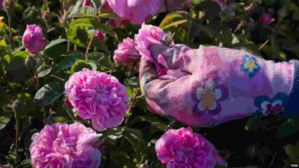 До восхода солнца около 150 человек отправляются на плантацию, чтобы вручную собрать урожай цветов. Бутоны для переработки не подходят – срывать нужно уже распустившийся цветок. Из четырех тонн лепестков можно получить всего один килограмм эфирного масла