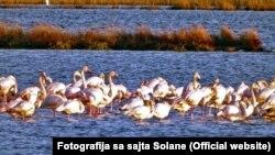 Flamingosi privremeno obitavaju na prostoru ulcinjske Solane, fotoarhiv
