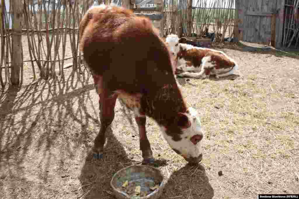"""Жители жалуются, что после дождя на шкурах животных появляются """"белые шишки"""". По словам сельчан, 15 телят уже погибли от неизвестной болезни, предположительно от пастереллеза."""