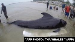 Пилотный кит, обнаруженный в одном из проливов на юге Таиланда