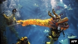 Scuba divers performed a dragon dance at the Shanghai aquarium on January 20 to celebrate the Year of the Dragon, which begins today.